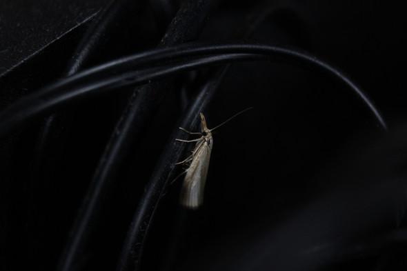 Rüsselzünsler  - (Tiere, Insekten, Motten)