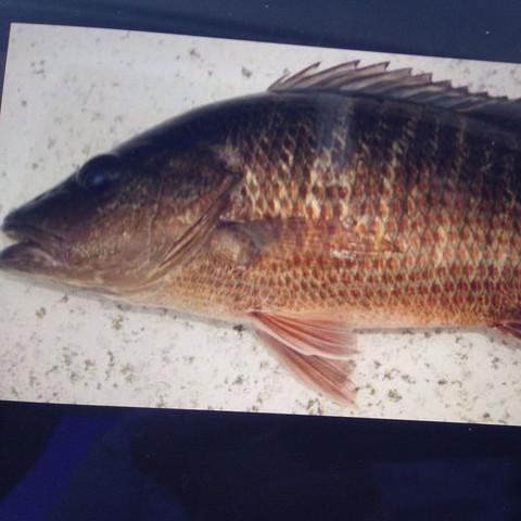 Was ist das für ein Fisch (Cape coral)?