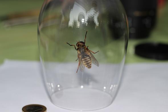 Unterseite im Glas mit Größenvergleich - (groß, Bienen, Wespen)