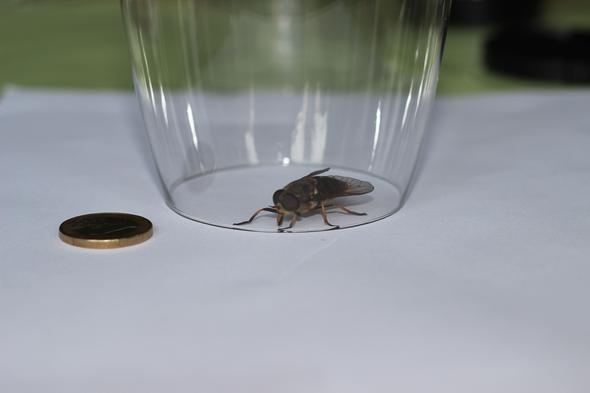 Oberseite im Glas mit Größenvergleich - (groß, Bienen, Wespen)