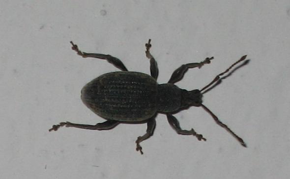 was ist das f r ein insekt woher kommt es wie kann man. Black Bedroom Furniture Sets. Home Design Ideas