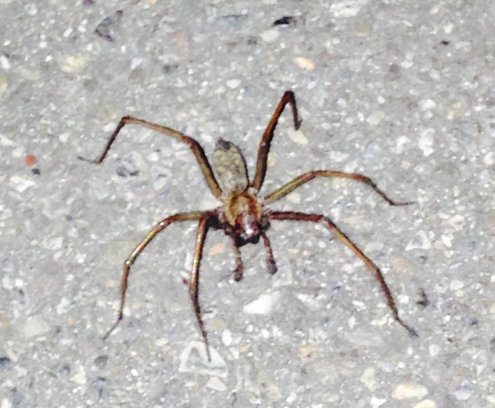 was ist das f r ein insekt 6 beinige spinne insekten spinnen. Black Bedroom Furniture Sets. Home Design Ideas