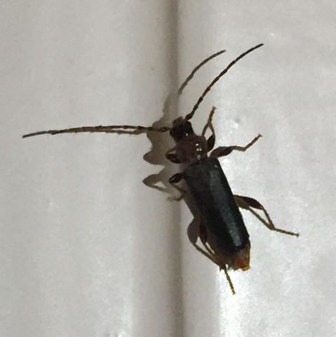 was ist das f r ein insekt bei uns in der wohnung tiere. Black Bedroom Furniture Sets. Home Design Ideas