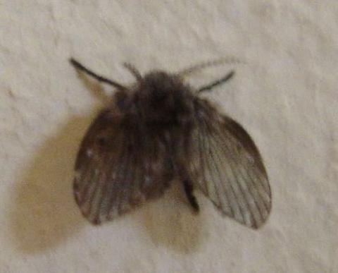 Fliege - (Tiere, Insekten, Schädlinge)