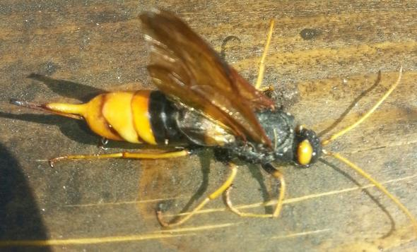 Was ist das für ein Insekt? Habe es im Garten gefunden und keiner kann mir sagen was es ist :-(