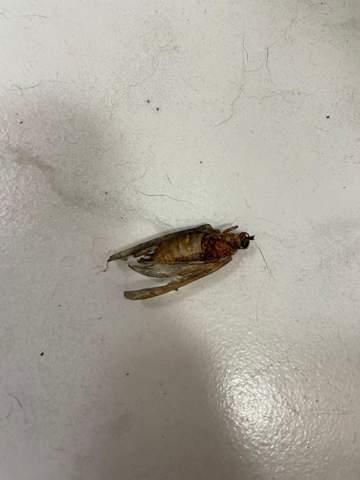 Was ist das für ein Insekt (Hornisse?)?