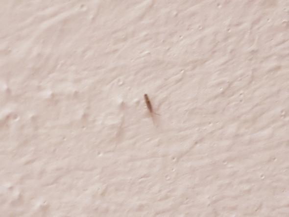Was ist das für ein Insekt in meinem Bad (Bild)? (Insekten)