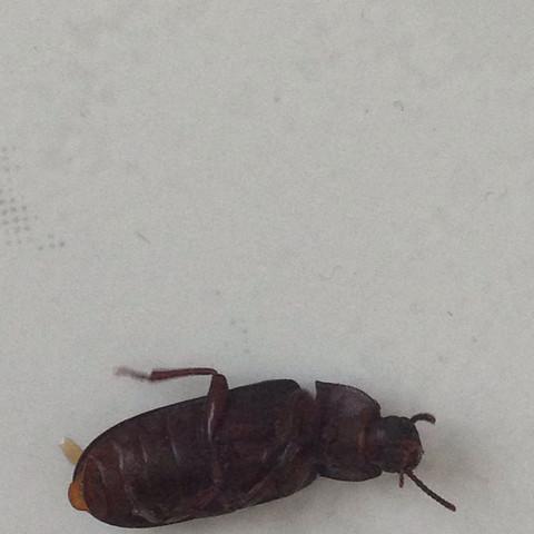 Was ist das für ein Insekt in Wohnung? (Insekten, Insektenproblem)