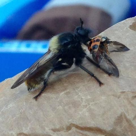 Insekt mit Fell  - (Insekten, Wespen, Hornissen)