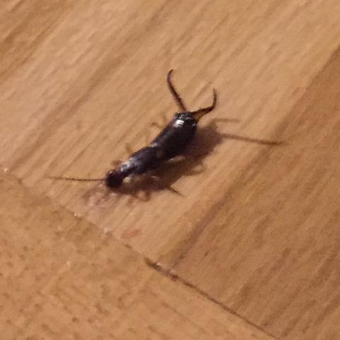was ist das f r ein insekt ohrenkneifer hnlich gesundheit tiere insekten. Black Bedroom Furniture Sets. Home Design Ideas