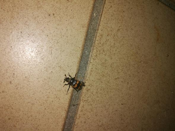 was ist das f r ein insekt orange schwarz gestreift biologie insekten k fer. Black Bedroom Furniture Sets. Home Design Ideas