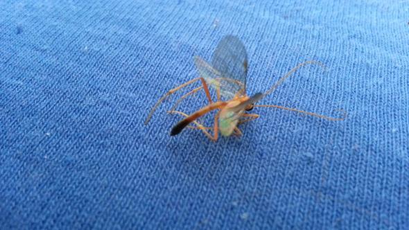 bla - (Tiere, Insekten, Parasiten)