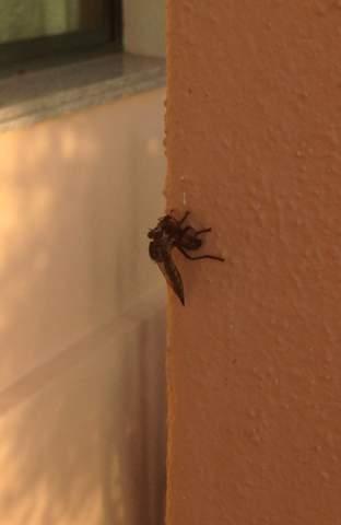 Was ist das für ein Insekt? Tabanoidea?