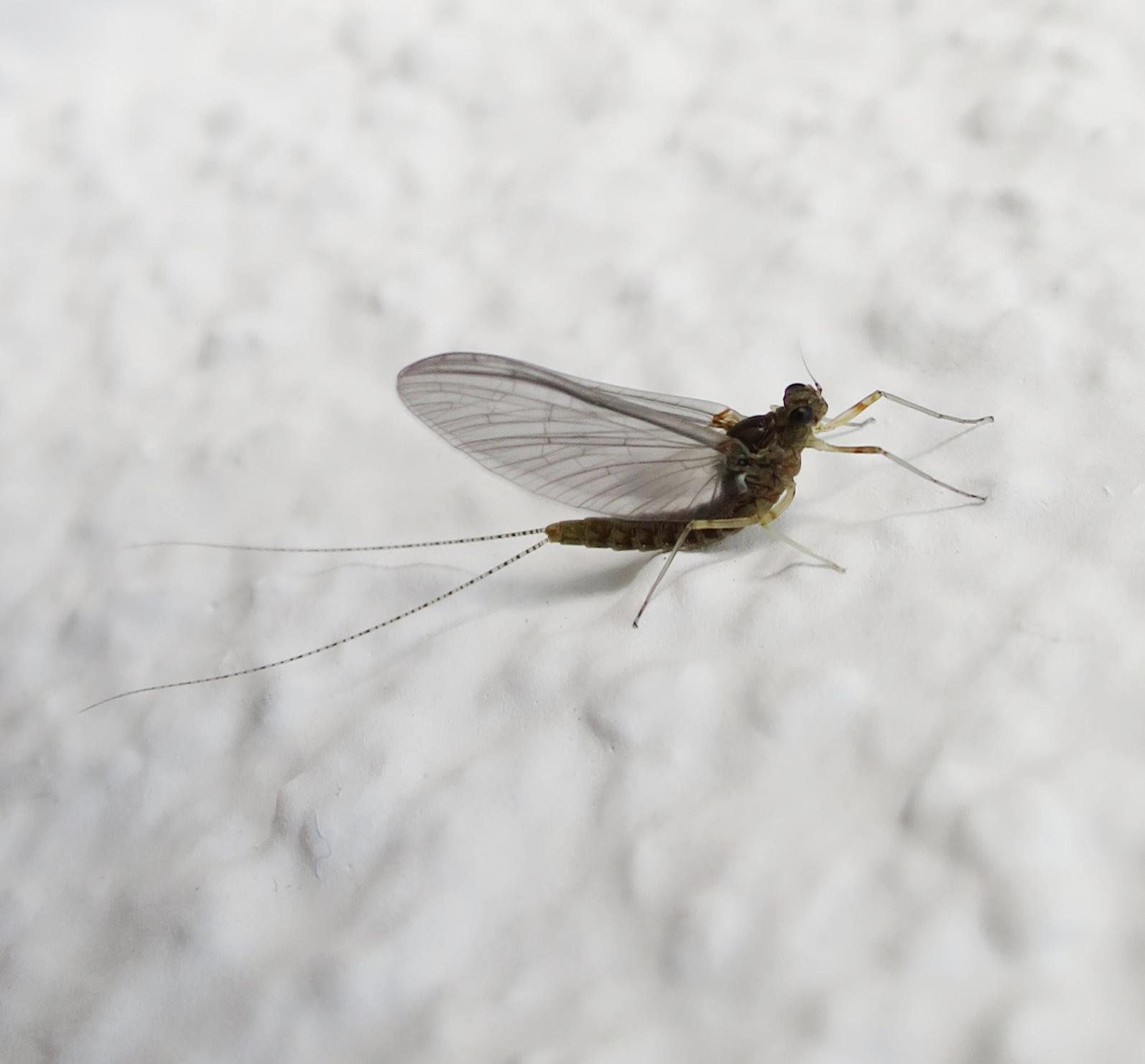was ist das f r ein insekt und wie hei t es insekten sch dlinge. Black Bedroom Furniture Sets. Home Design Ideas
