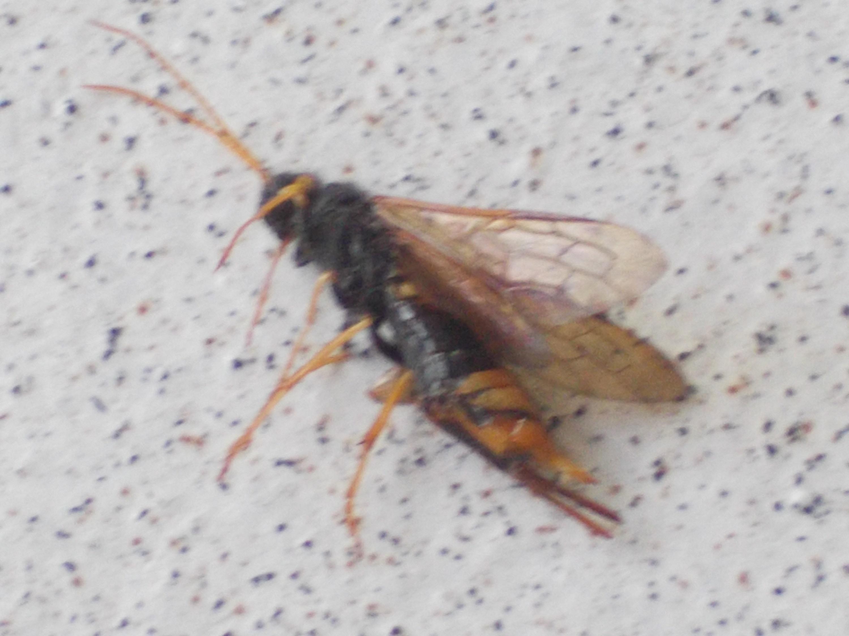 was ist das f r ein insekt wespenart insekten wespen. Black Bedroom Furniture Sets. Home Design Ideas