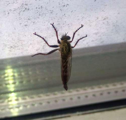 Was ist das für ein Insekt(Fliege)?