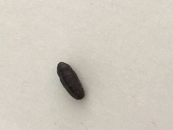Was ist das für ein Insekt/Ungeziefer?