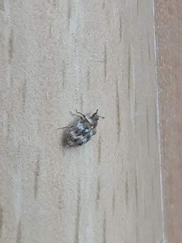 Was ist das für ein Käfer / Insekt?
