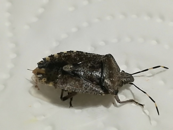 Was ist das für ein Käfer ist Massenweise an der