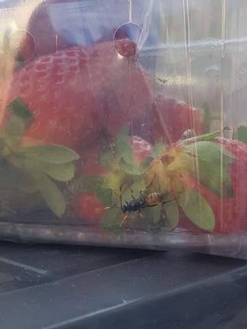 Was ist das für ein Käfer in meinen Erdbeeren?