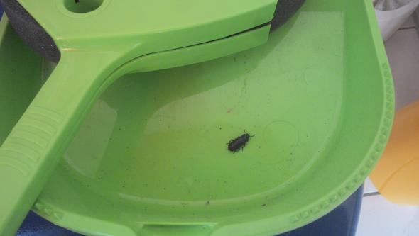 Was ist das für ein Käfer mit hartem Panzer?