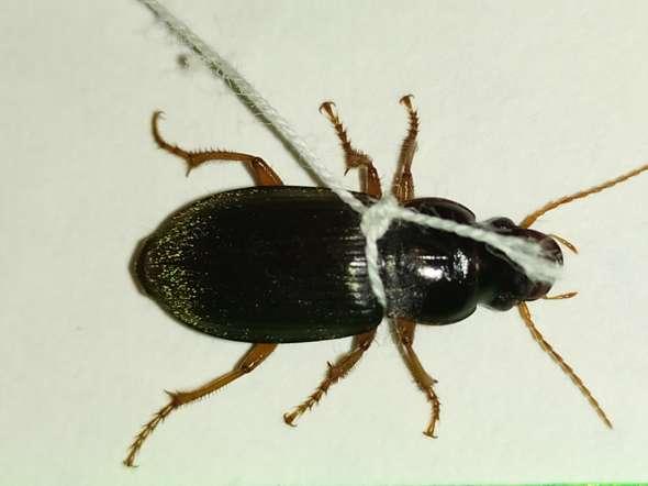 Was ist das für ein Käfer? Wovon ernährt er sich und