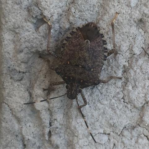 Unbekannter Käfer - (Tiere, Insekten, Kaefer)