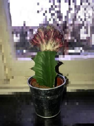 Was ist das für ein Kaktus, finde keine Bilder oder ähnliches im Internet?