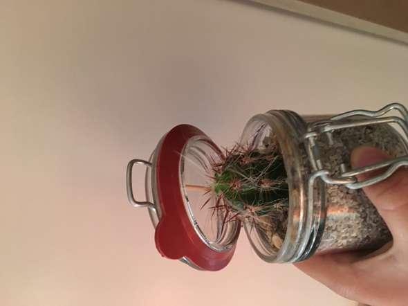 Was ist das für ein Kaktus, Ist er giftig?