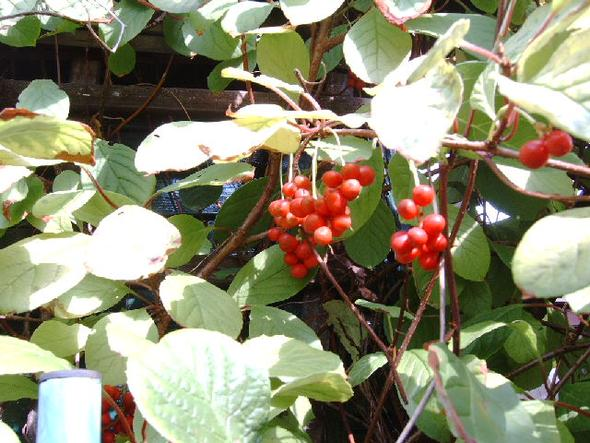Kletterstrauch - (Garten, Pflanzen)