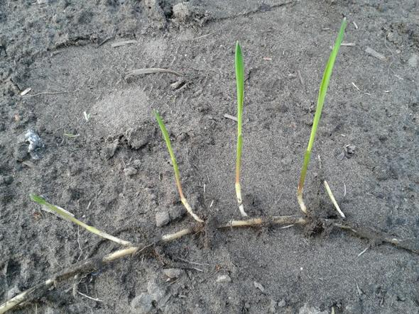 Bild 3 - (Garten, Pflanzen, Wurzel)