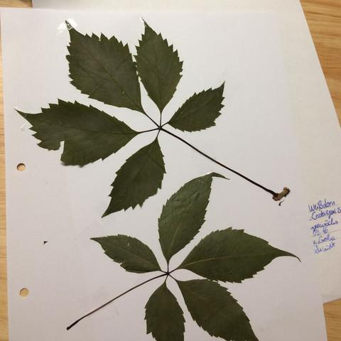 Das Blatt haben wir gefunden  - (Biologie, Natur, Baum)