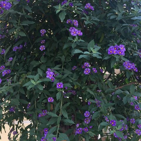 Was ist das für ein lila Minibaum?