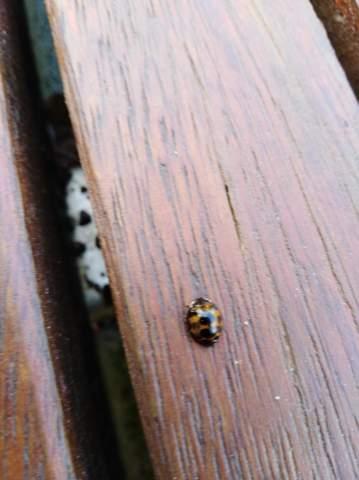 Was ist das für ein Marienkäfer?
