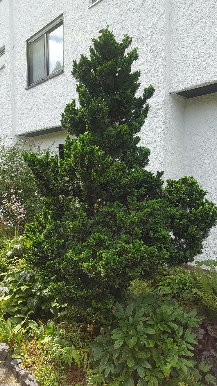 was ist das f r ein nadelbaum baum botanik. Black Bedroom Furniture Sets. Home Design Ideas