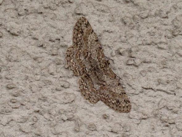 Schmetterking - (Tiere, Natur)