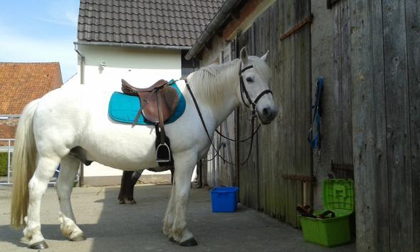 Sieht sehr barock aus, Ist aber zu klein für einen Andalusier - (Pferde, Reitsport)