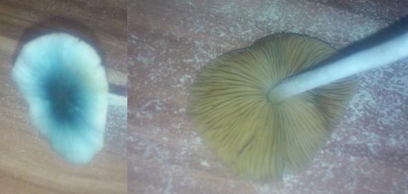 blauer pilz - (Pilze, Pilzbestimmung)