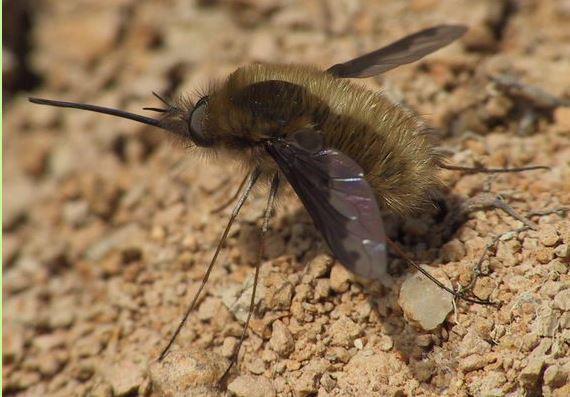 was ist das f r ein riesiges insekt das in der luft schwebt und einen langen stachel hat. Black Bedroom Furniture Sets. Home Design Ideas
