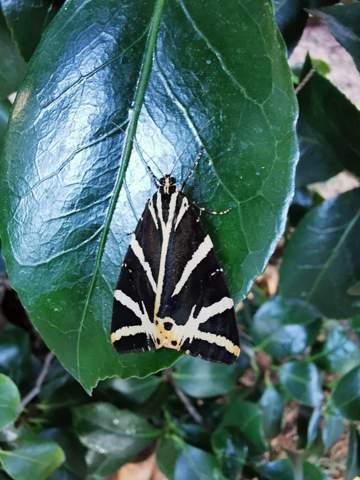 Was ist das für ein Schmetterling?Sieht dem Braunen Bär ähnlich.Scheint es aber nicht zu sein?