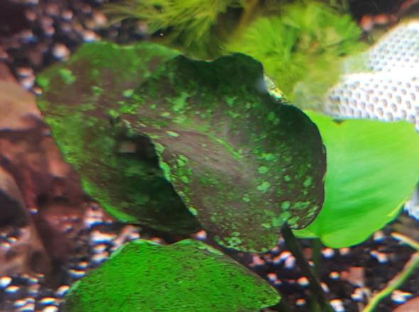 aquarium pflanze - (Aquarium, Aquaristik)