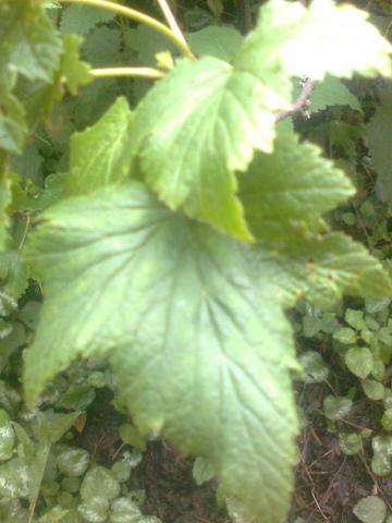 cc - (Garten, -pflanzen)