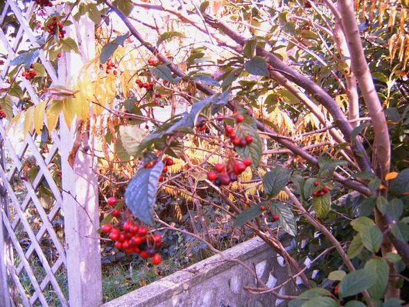 Was ist das für ein Strauch mit den roten Beeren?