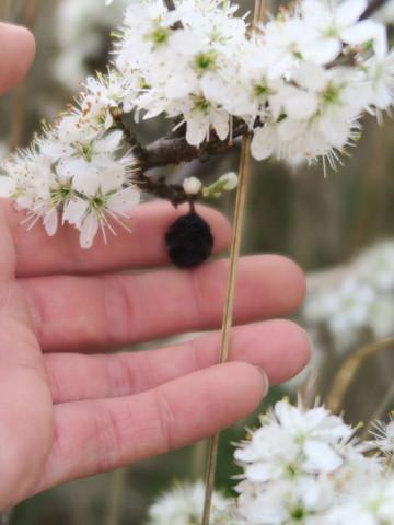 Was ist das für ein Strauch/Baum - weiße Blüten und dunkle Frucht -keine Stacheln/Dornen - Felsenkirsche? Kirschpflaume?