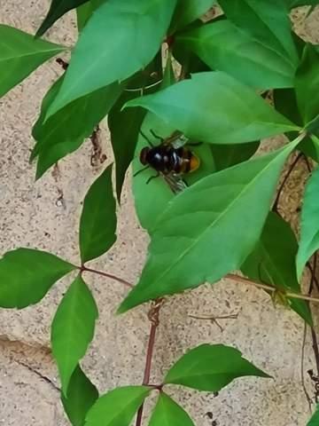 Was ist das für ein Tier / Biene?