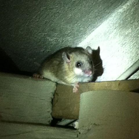 Sieht aus wie eine Ratte - (Tiere, Wald)