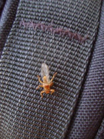 fliegendes spinnenartiges Insekt (Görlitz bis Polen) - (Tiere, Insekten, finden)