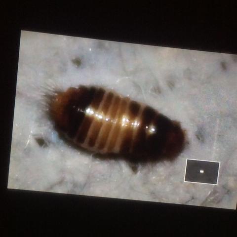 was ist das f r ein tier habe es im bett gefunden tiere haushalt natur. Black Bedroom Furniture Sets. Home Design Ideas