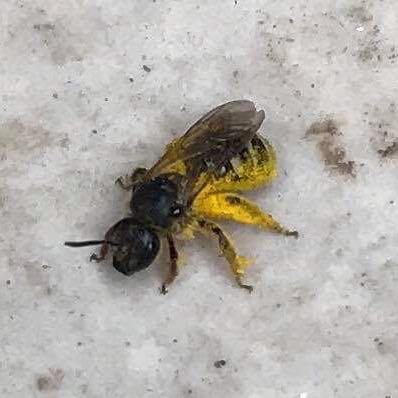Bienchen ? ;) - (Tiere, Natur, Insekten)