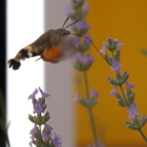 was ist das f r ein tier insekt schmetterling tiere. Black Bedroom Furniture Sets. Home Design Ideas